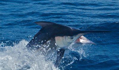 Costa Rica Black Marlin Fishing Trips
